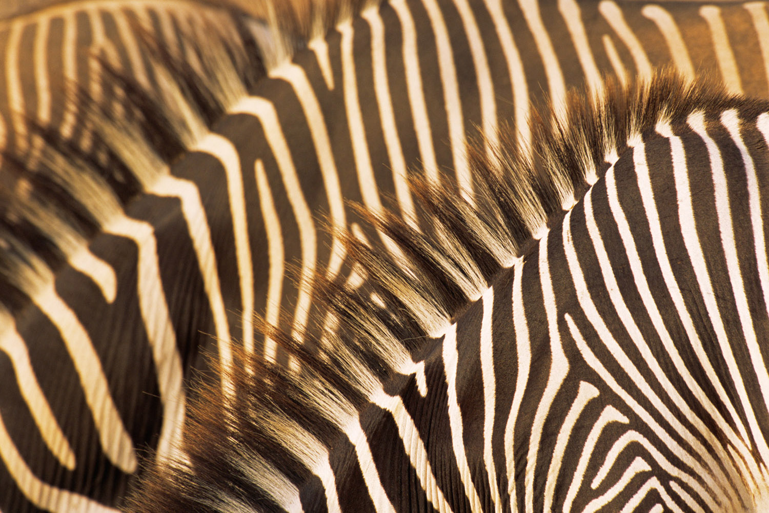 Grévy's zebra stripe patterns, Samburu National Reserve, Kenya