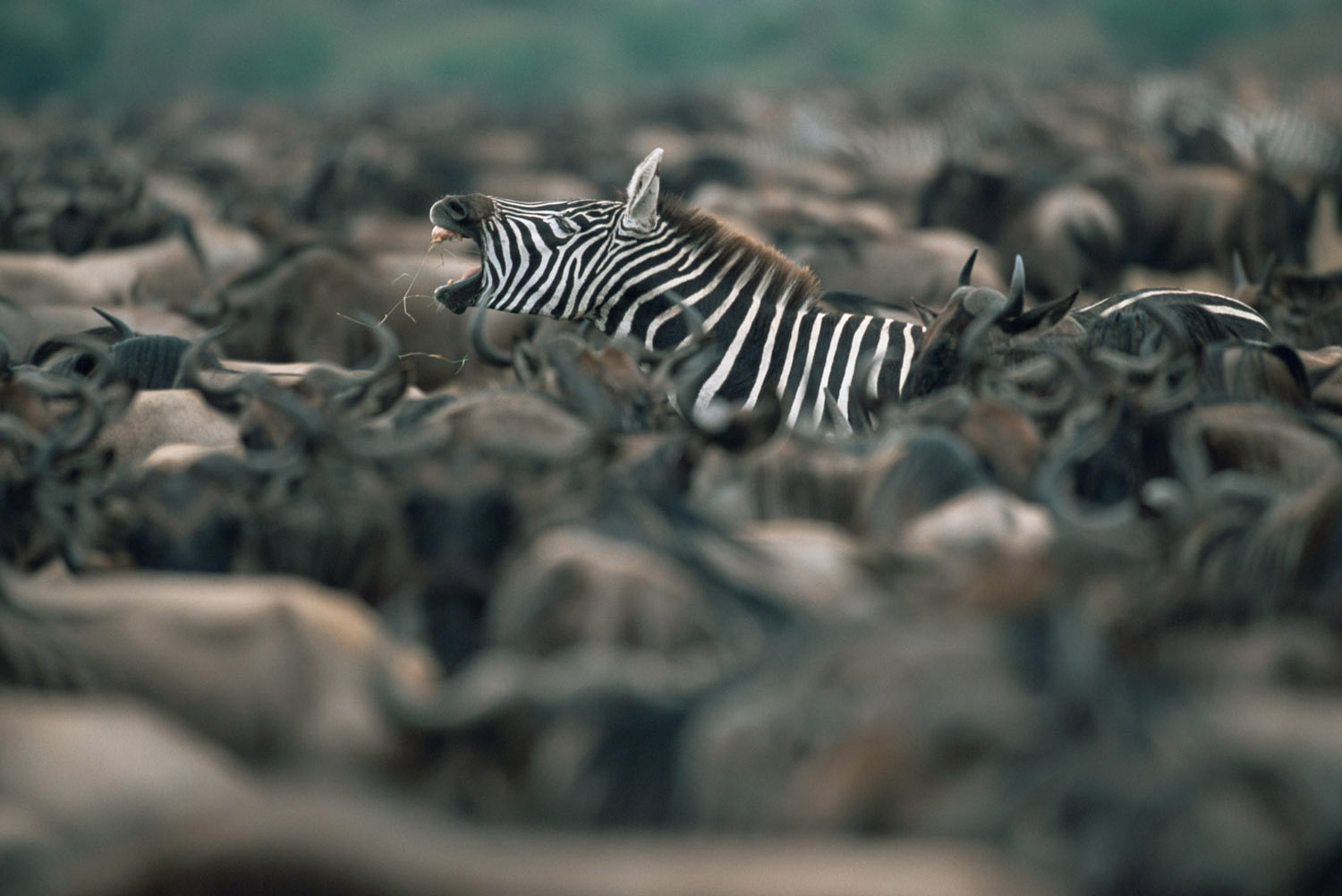 Common zebra yawning amongst wildebeest herd, Masai Mara National Reserve, Kenya