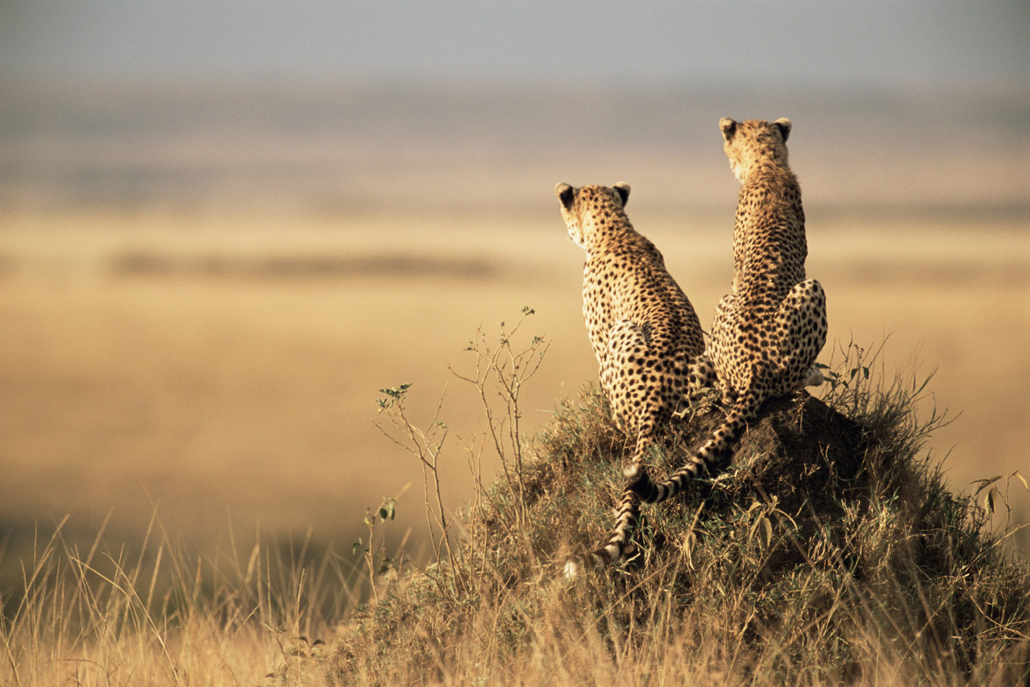 Cheetahs on look-out from a termite hill, Masai Mara National Reserve, Kenya