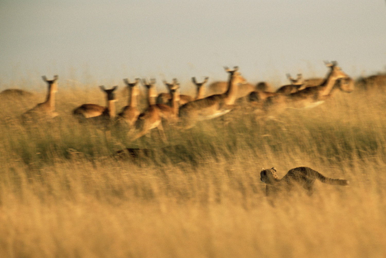 Cheetah hunting impalas, Masai Mara National Reserve, Kenya