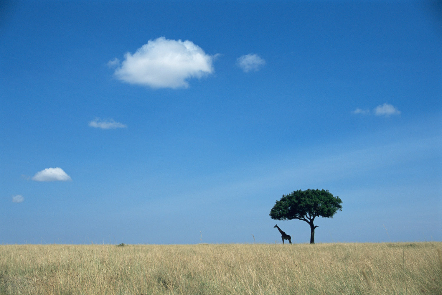 Maasai giraffe under lone tree, Masai Mara National Reserve, Kenya
