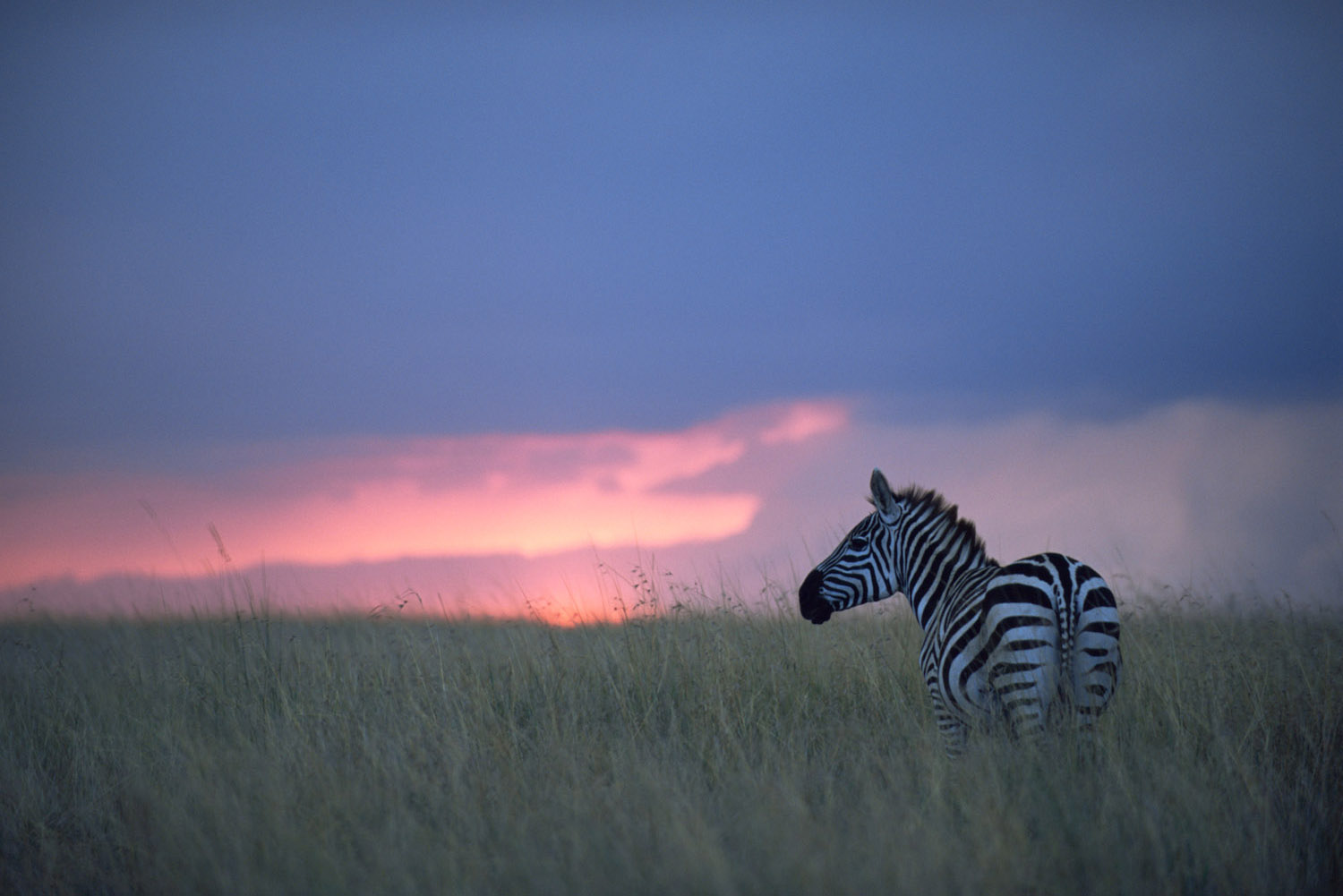 Common zebra at twilight, Masai Mara National Reserve, Kenya