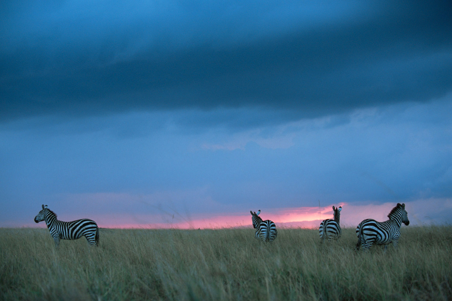 Common zebras at twilight with storm cloud, Masai Mara National Reserve, Kenya
