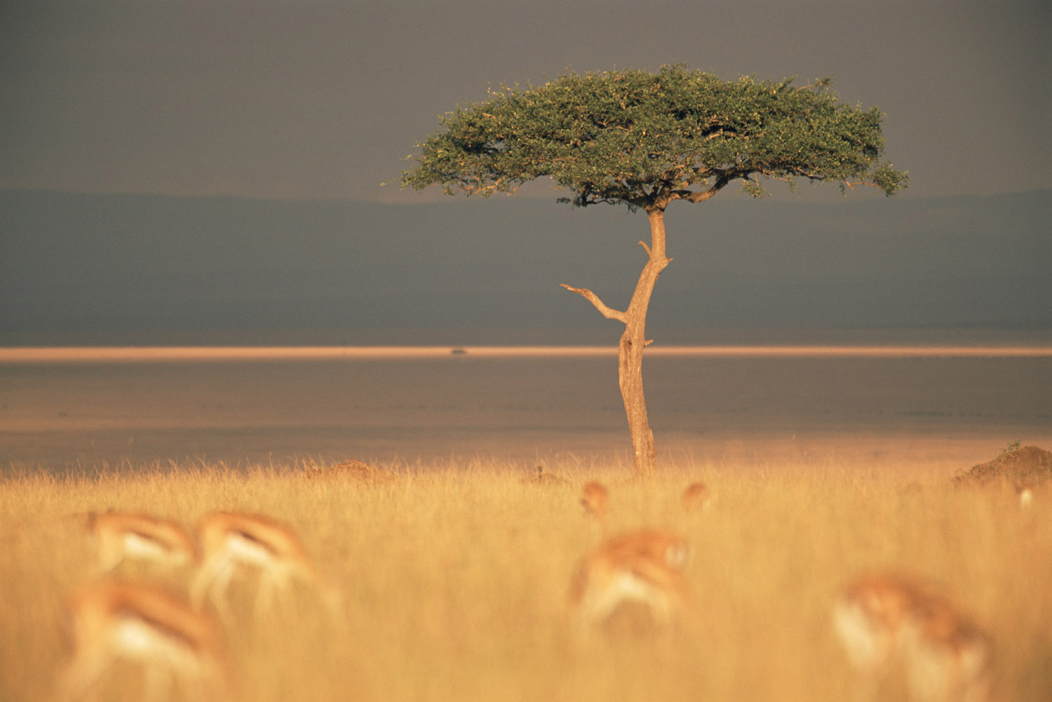 Desert date tree and Thomson's gazelles, Masai Mara National Reserve, Kenya