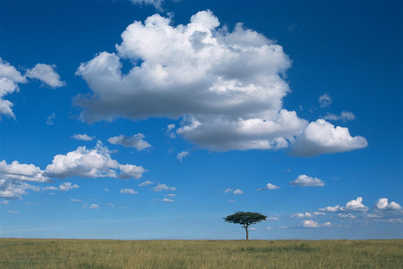 Lone desert date tree, Masai Mara National Reserve, Kenya