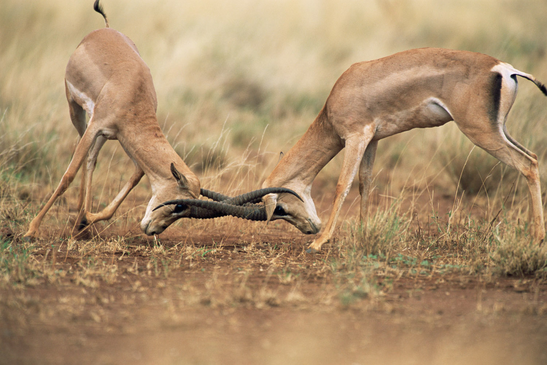 Grant's gazelles sparring, Meru National Park, Kenya