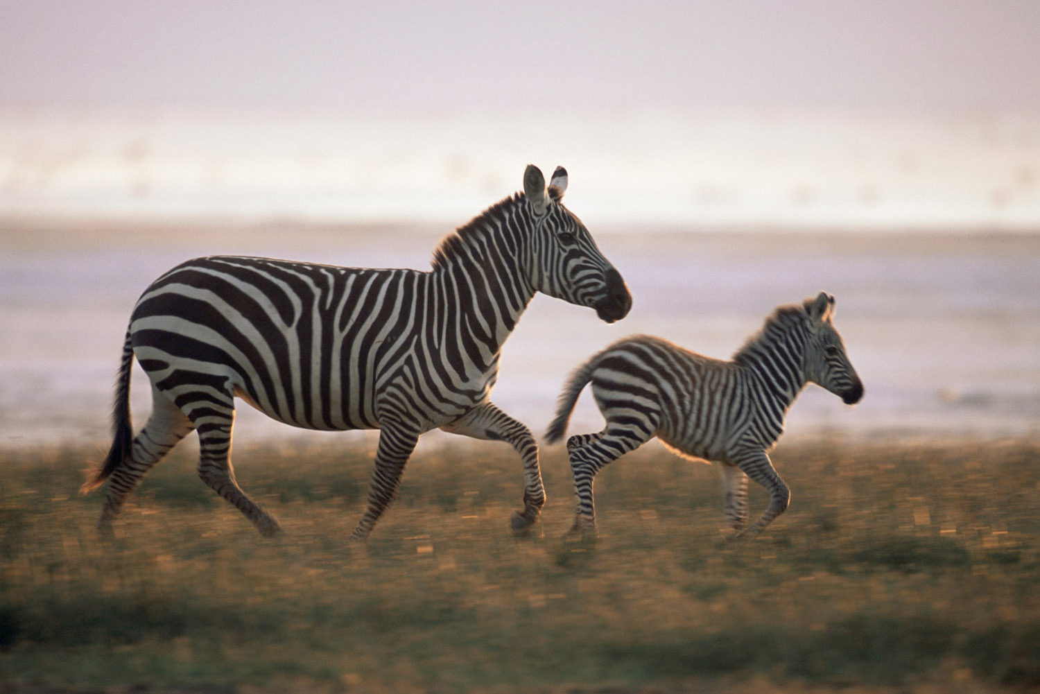 Common zebra mother and foal trotting, Lake Nakuru National Park, Kenya