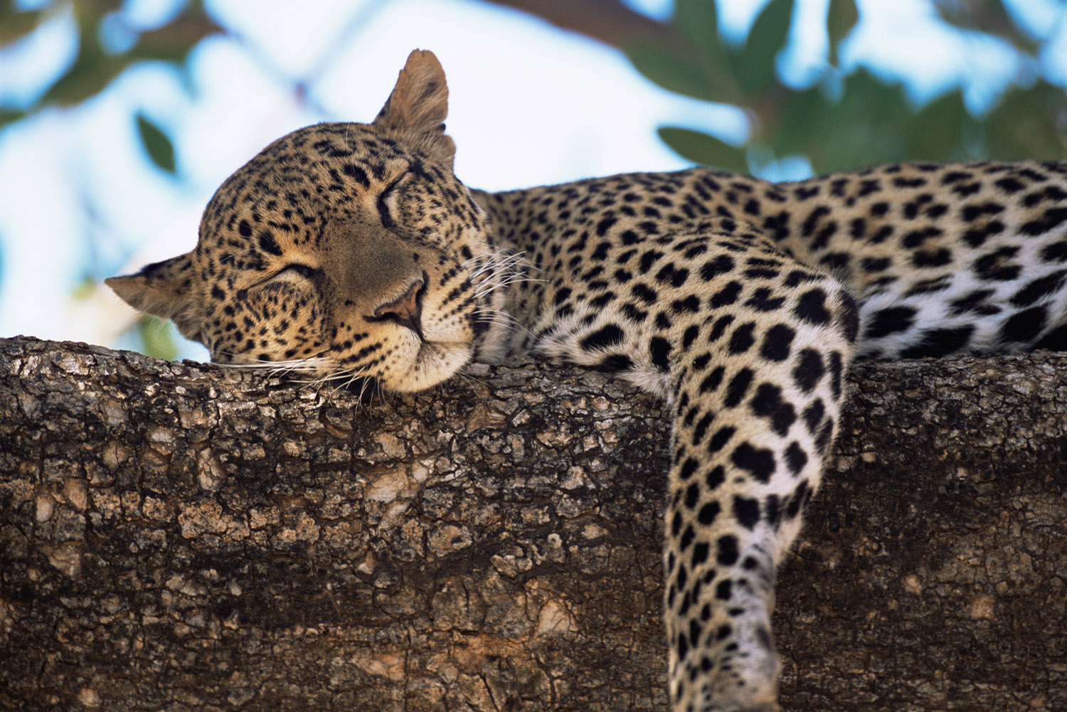 Leopard dozing in tree, Buffalo Springs National Reserve, Kenya