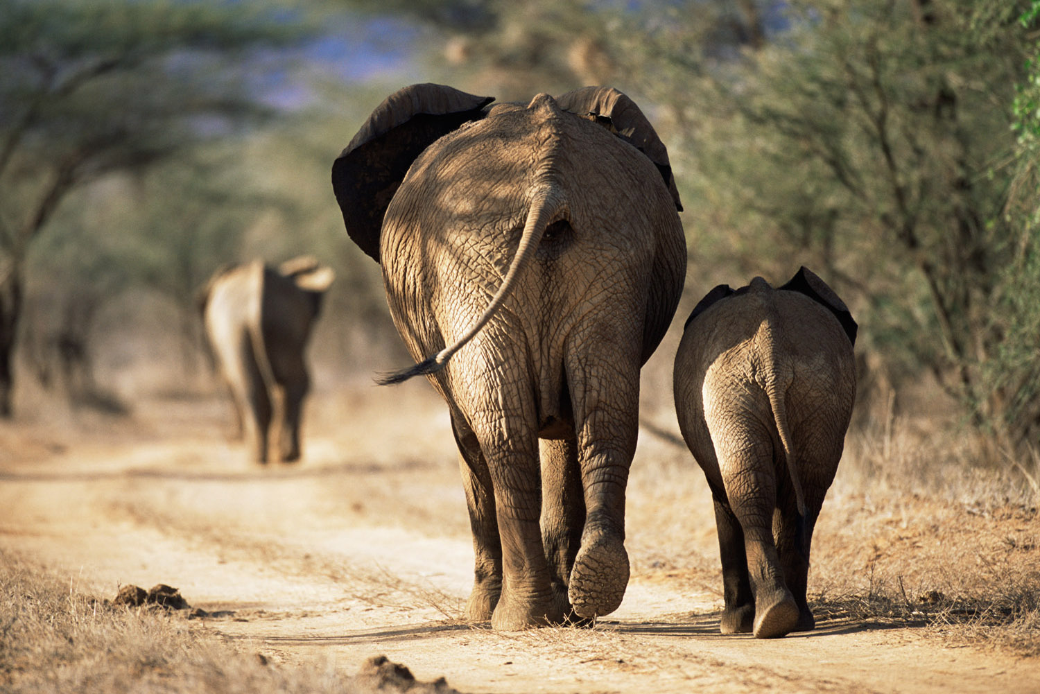 African elephants heading off along track, Samburu National Reserve, Kenya