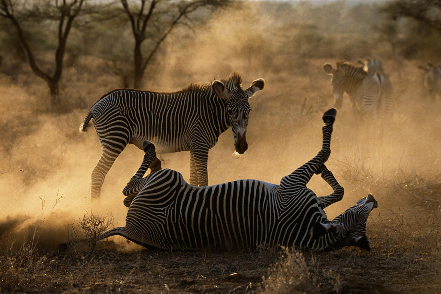 Grévy's zebra rolling in dust at dawn, Samburu National Reserve, Kenya
