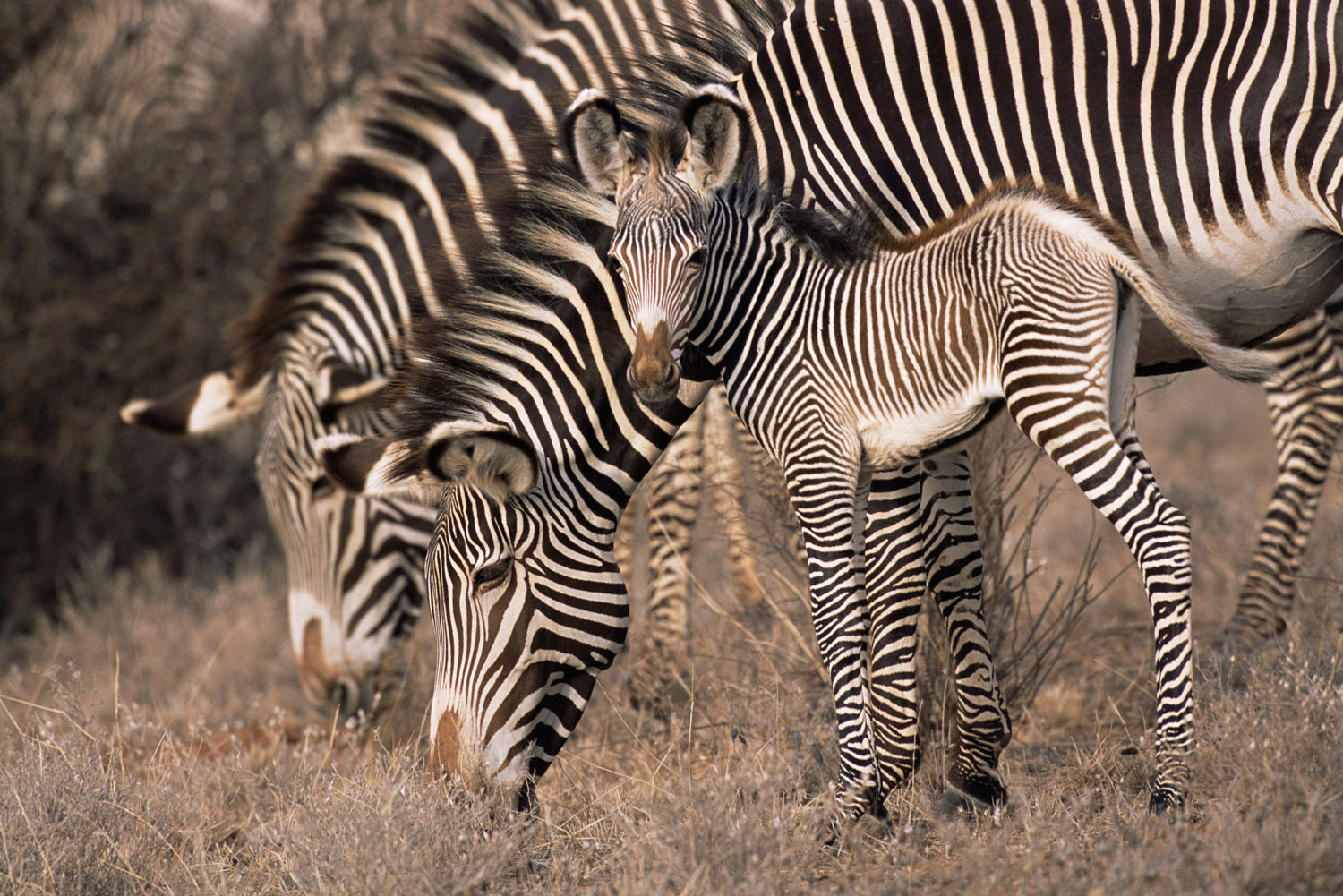 Grévy's zebra foal with mother, Samburu National Reserve, Kenya