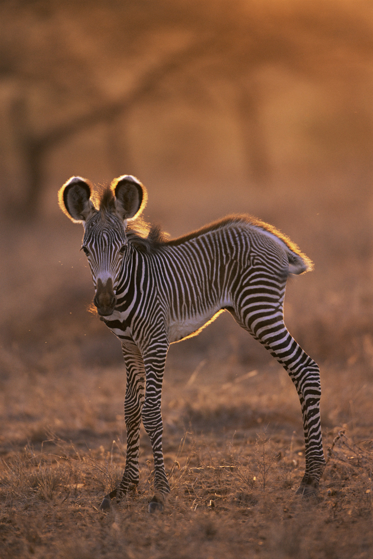 Grévy's zebra foal at dawn, Samburu National Reserve, Kenya