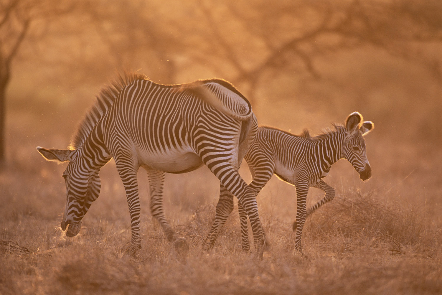 Grevy's zebra mother and foal at dawn, Samburu National Reserve, Kenya