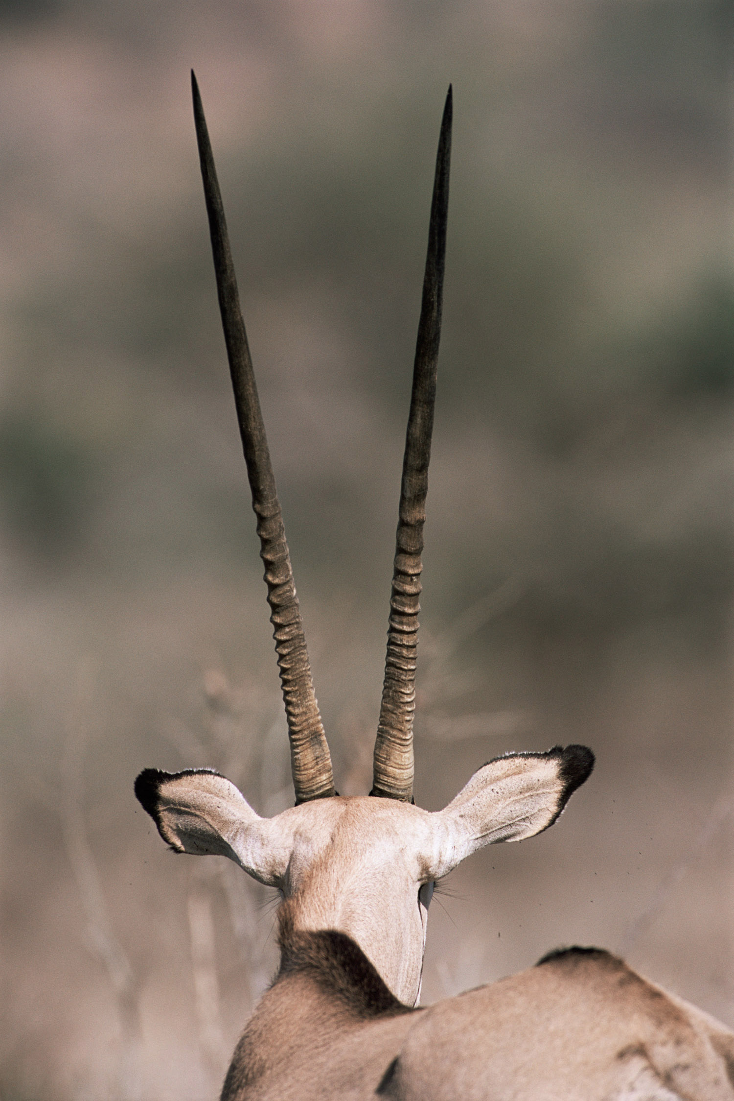 Beisa oryx on alert, Samburu National Reserve, Kenya
