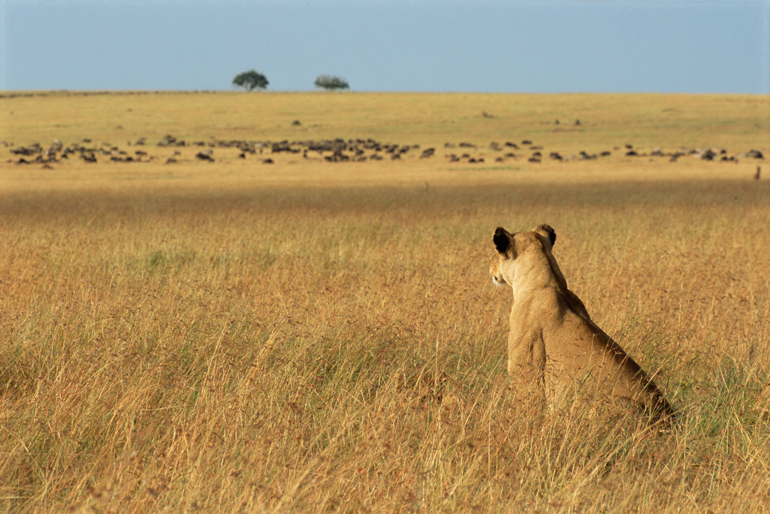Lioness watching wildebeest prey, Masai Mara National Reserve, Kenya