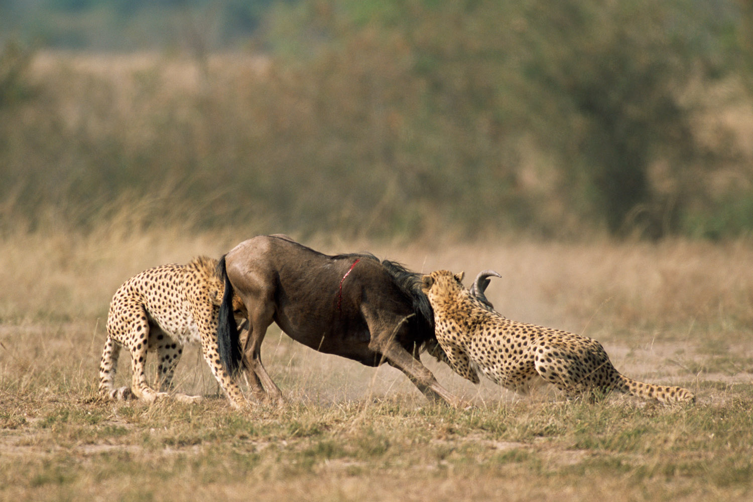 Cheetahs bringing down wildebeest calf, Masai Mara National Reserve, Kenya