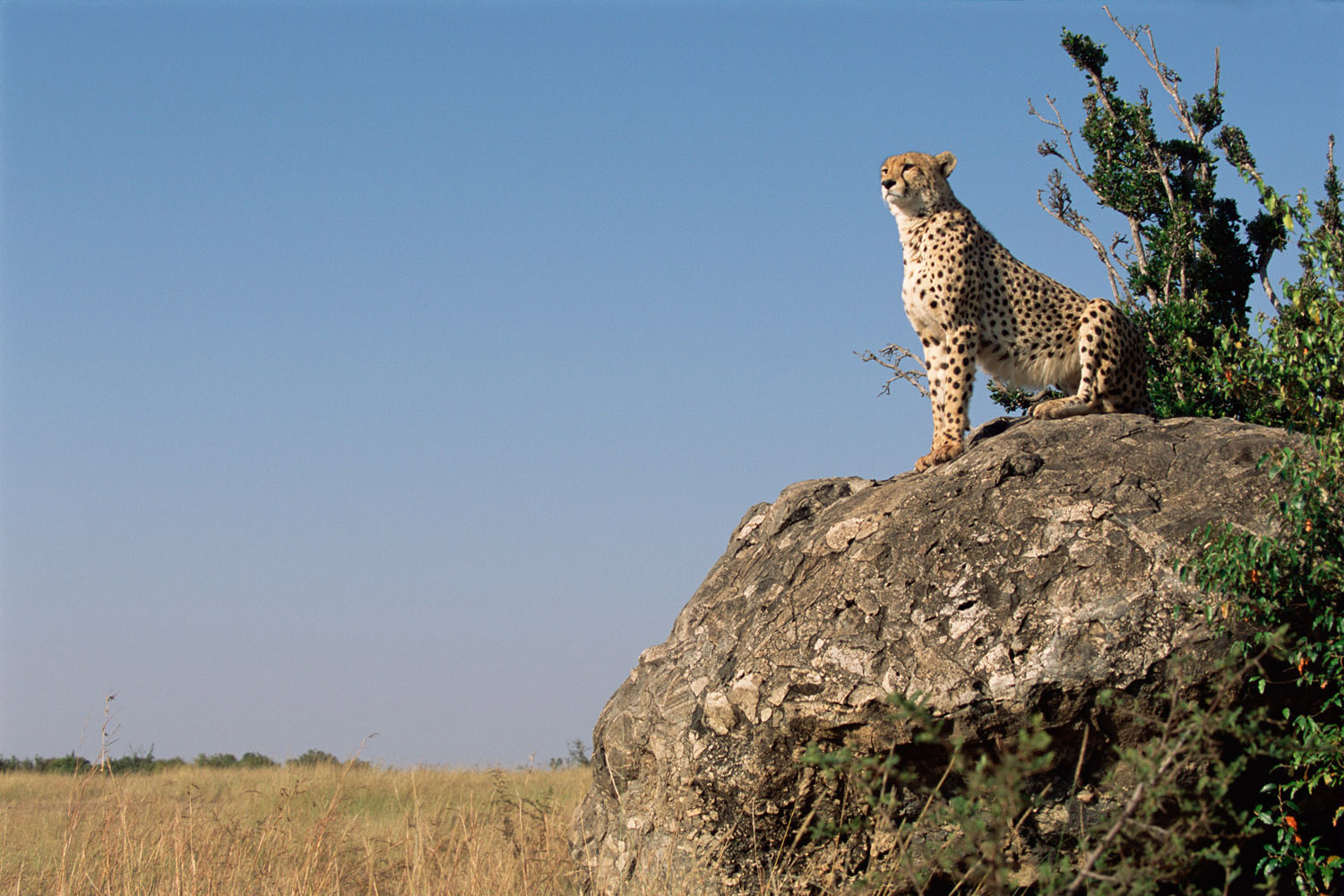 Cheetah on look-out for prey, Masai Mara National Reserve, Kenya
