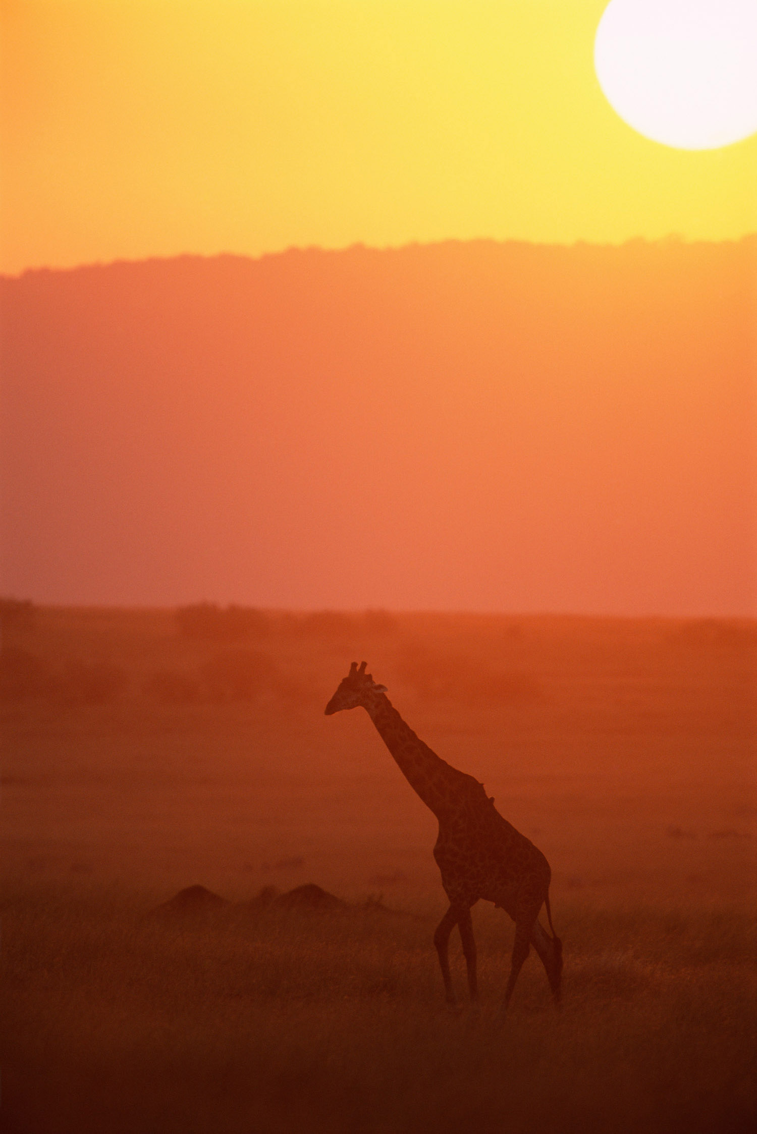 Maasai giraffe at sunset, Masai Mara National Reserve, Kenya
