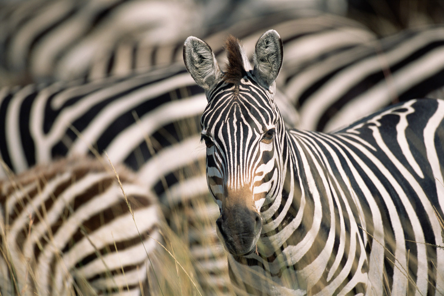 Common zebra portrait amongst herd, Masai Mara National Reserve, Kenya