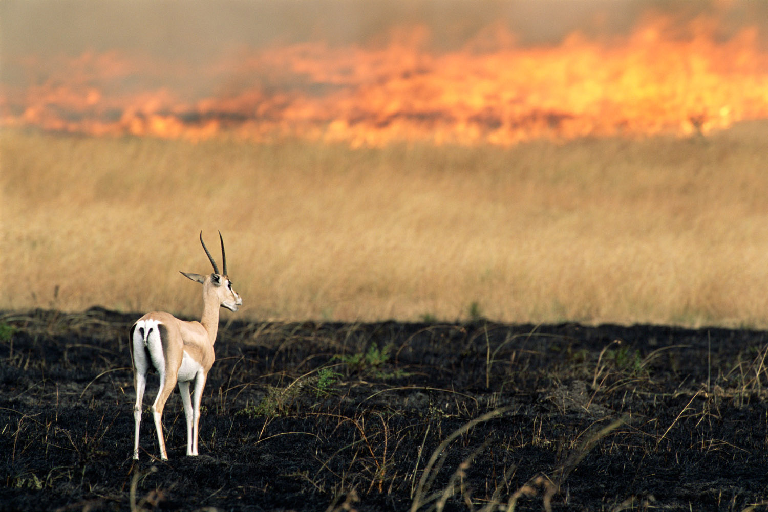 Grant's gazelle in managed fire zone, Masai Mara National Reserve, Kenya