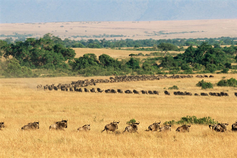 Wildebeest line approaching Talek River, Masai Mara National Reserve, Kenya