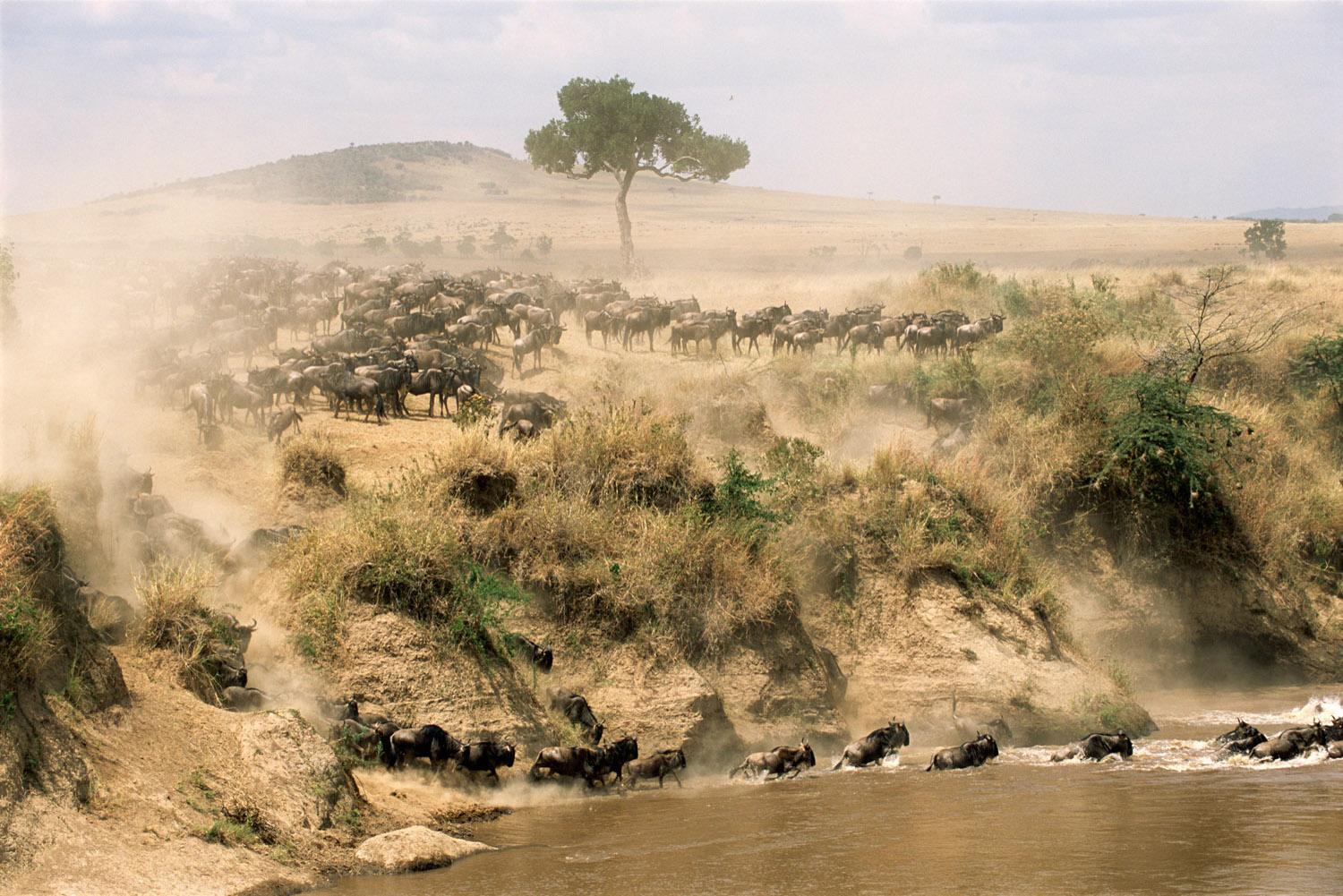 Wildebeest herd crossing Mara River, Masai Mara National Reserve, Kenya