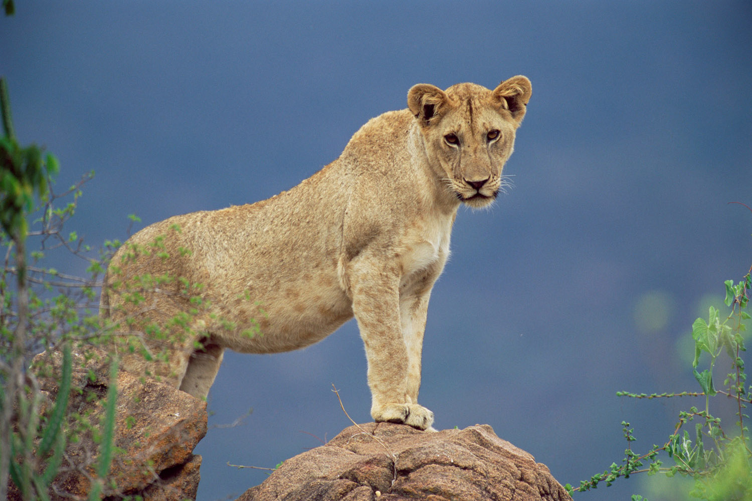 Lioness on rock, Tsavo West National Park, Kenya