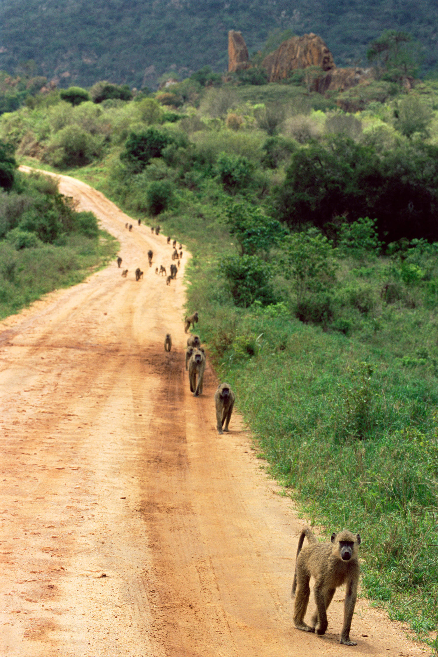 Yellow baboon troop on track, Tsavo West National Park, Kenya