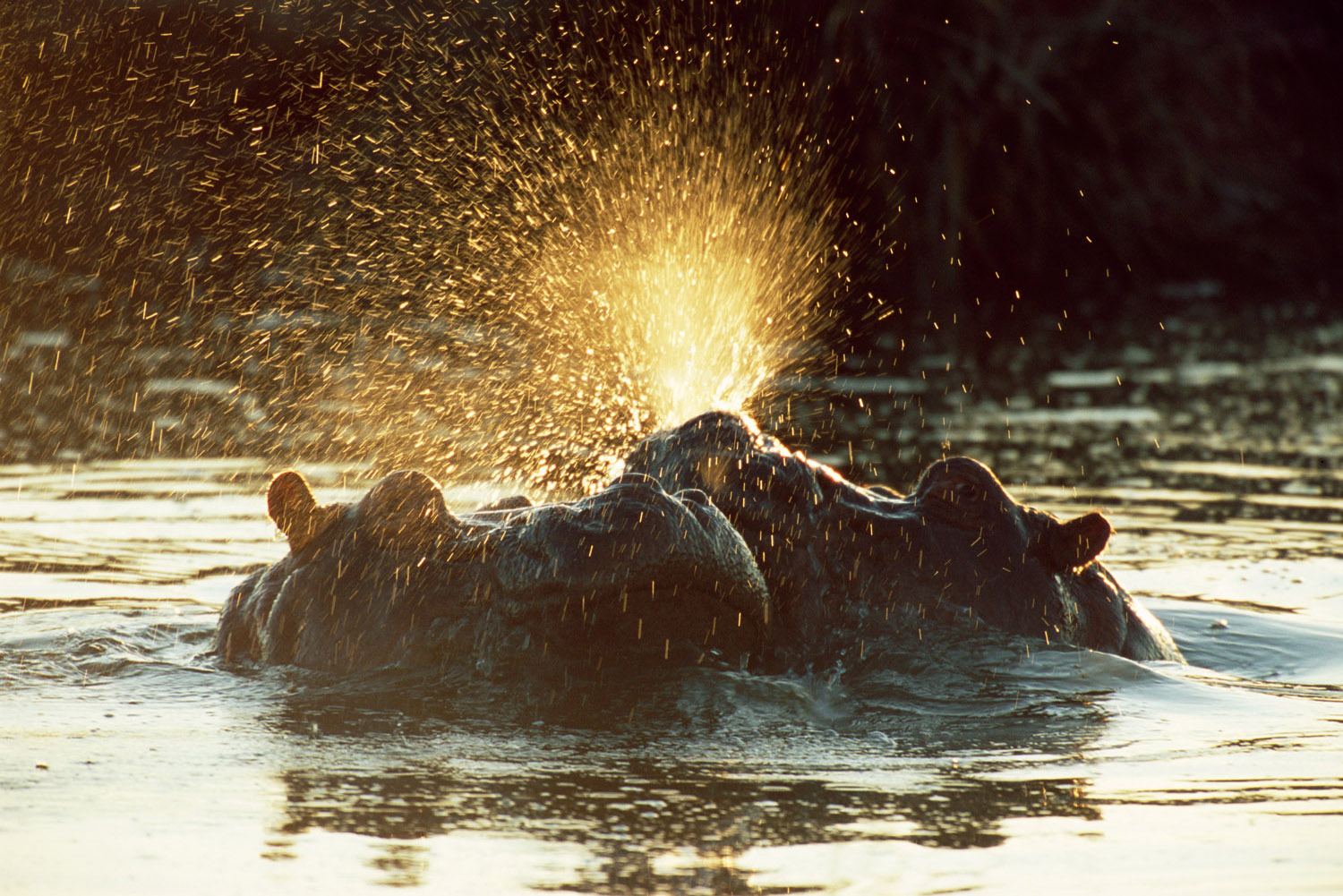 Bull hippos sparring at dawn, Tsavo West National Park, Kenya