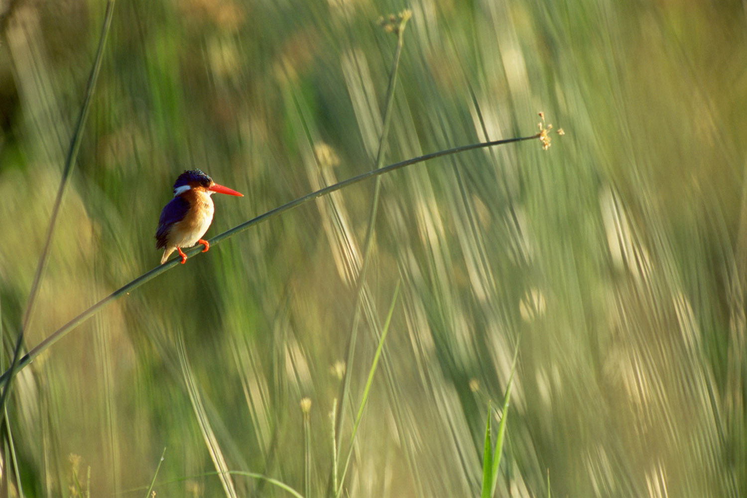 Malachite kingfisher on reed, Tsavo West National Park, Kenya