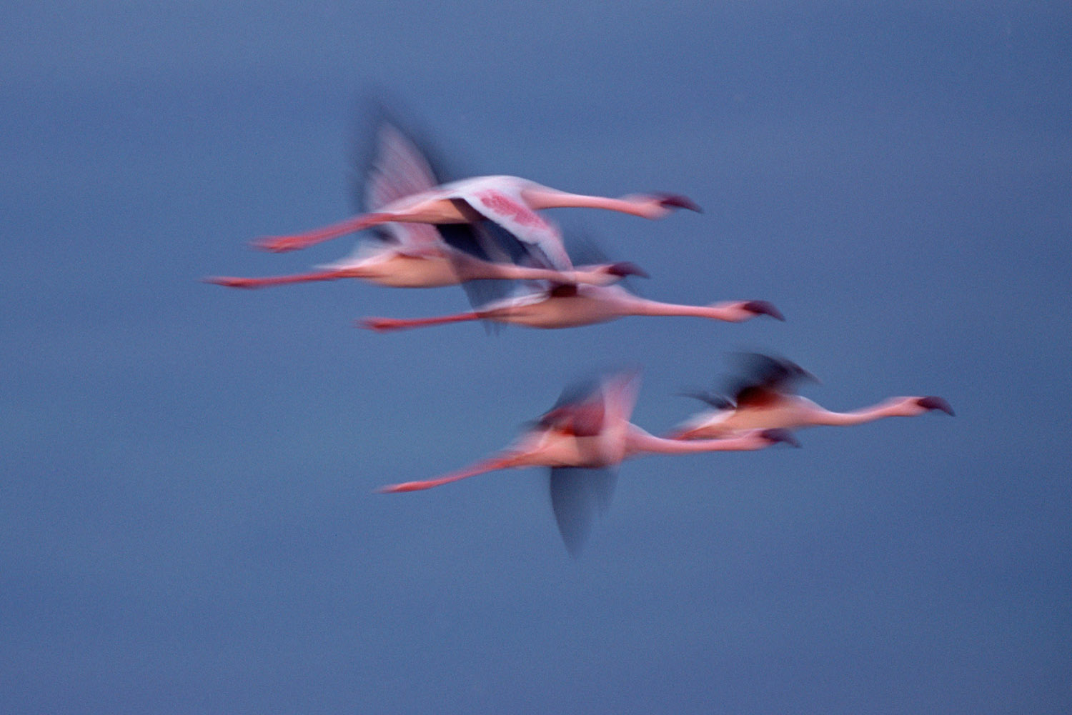 Lesser flamingos in flight, Lake Nakuru National Park, Kenya