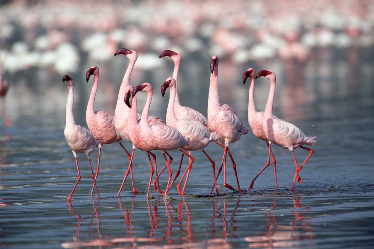 Lesser flamingos in courtship display, Lake Nakuru National Park, Kenya