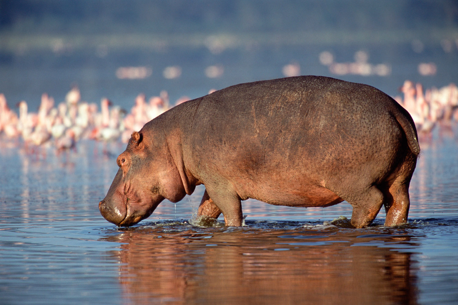 Hippo in Lake Nakuru, Lake Nakuru National Park, Kenya