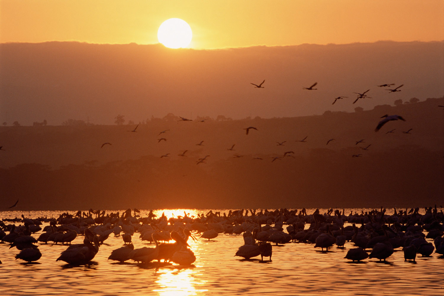 Great white pelicans at sunrise, Lake Nakuru National Park, Kenya