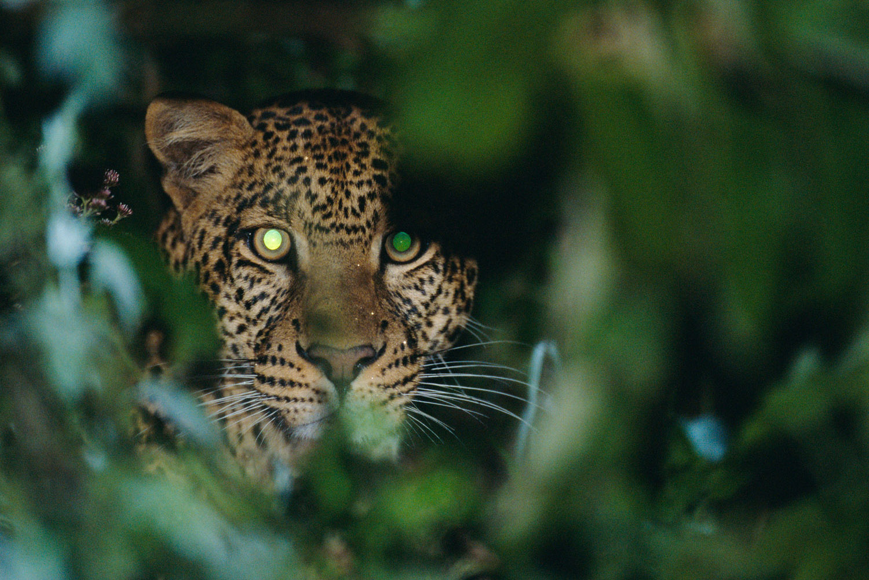 Leopard portrait, Aberdare National Park, Kenya