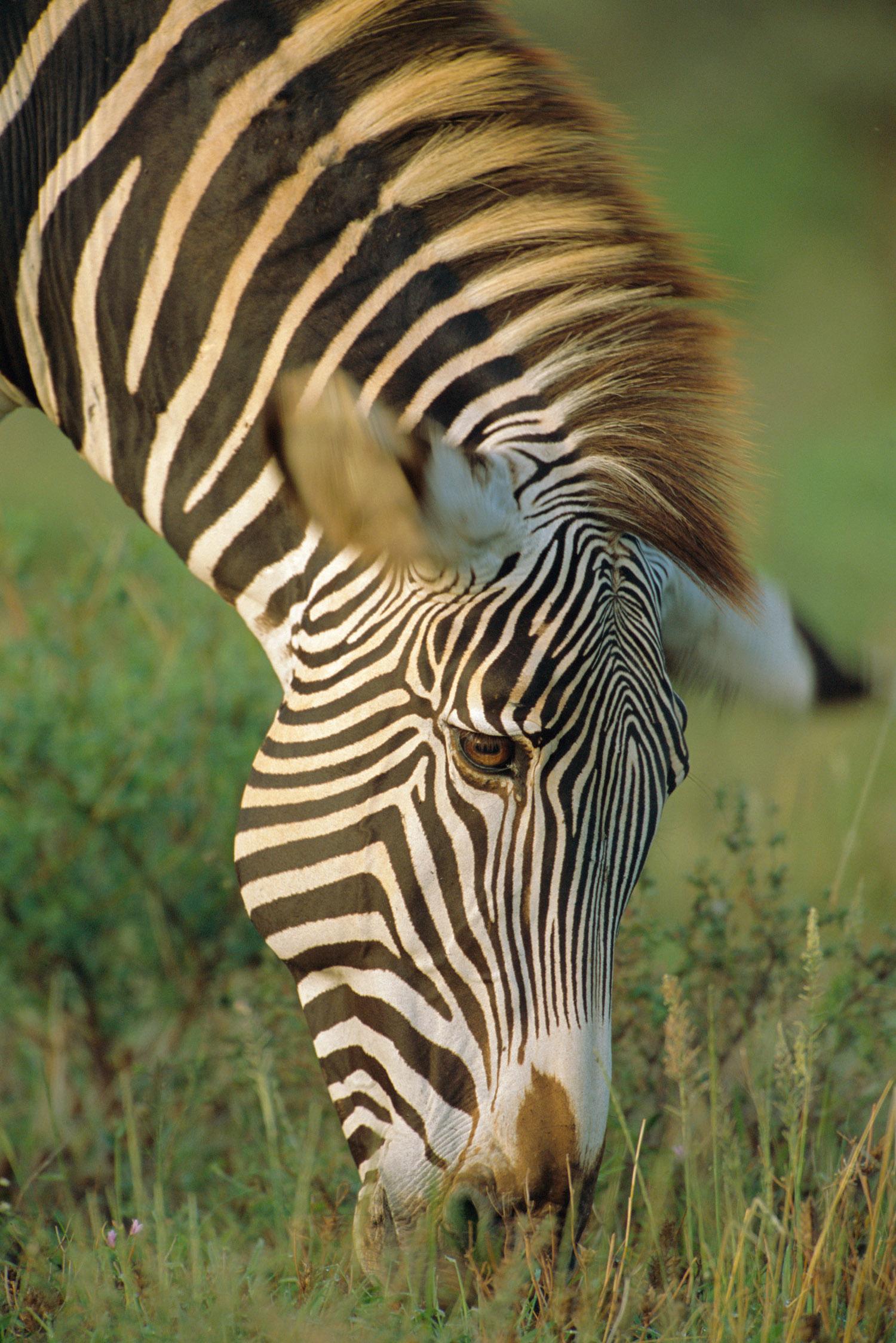 Grevy's zebra grazing, Samburu National Reserve, Kenya