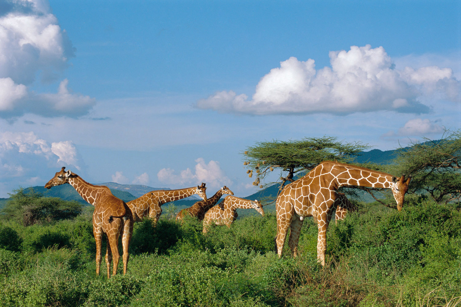Reticulated giraffes browsing, Buffalo Springs National Reserve, Kenya
