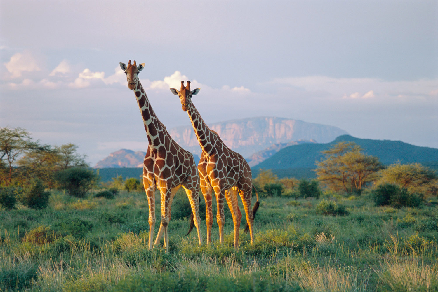 Reticulated giraffes at dusk, Buffalo Springs National Reserve, Kenya