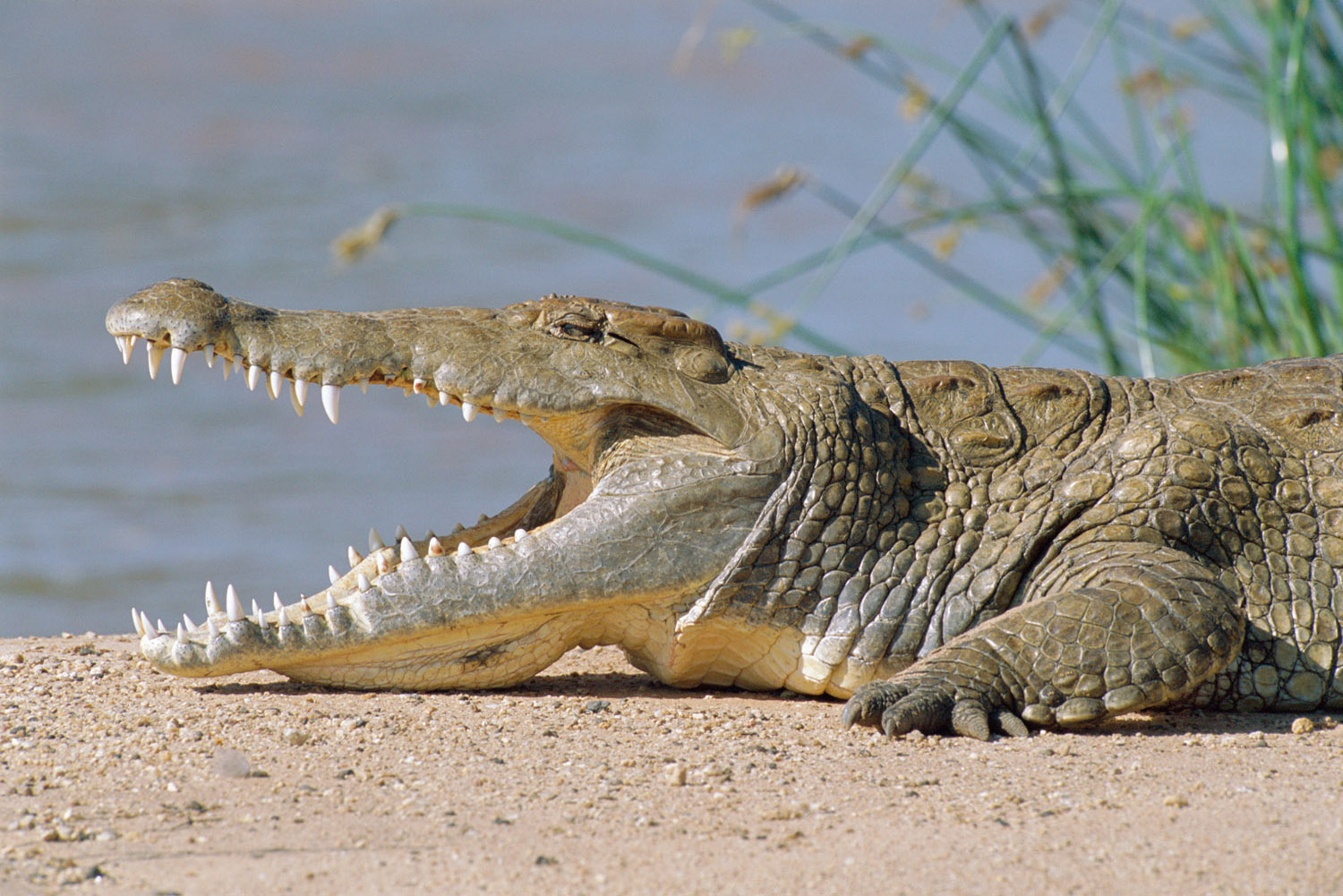 Nile crocodile sunbathing, Samburu National Reserve, Kenya
