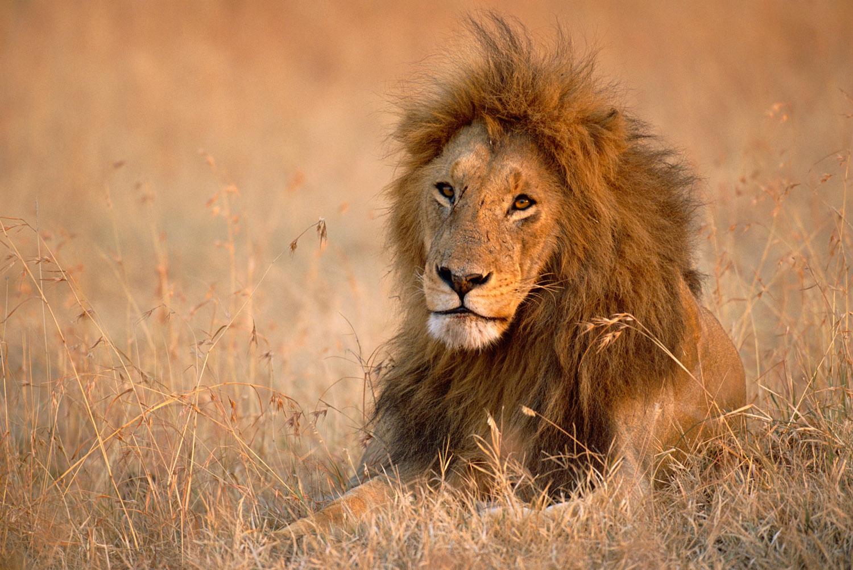 Lion resting, Masai Mara National Reserve, Kenya