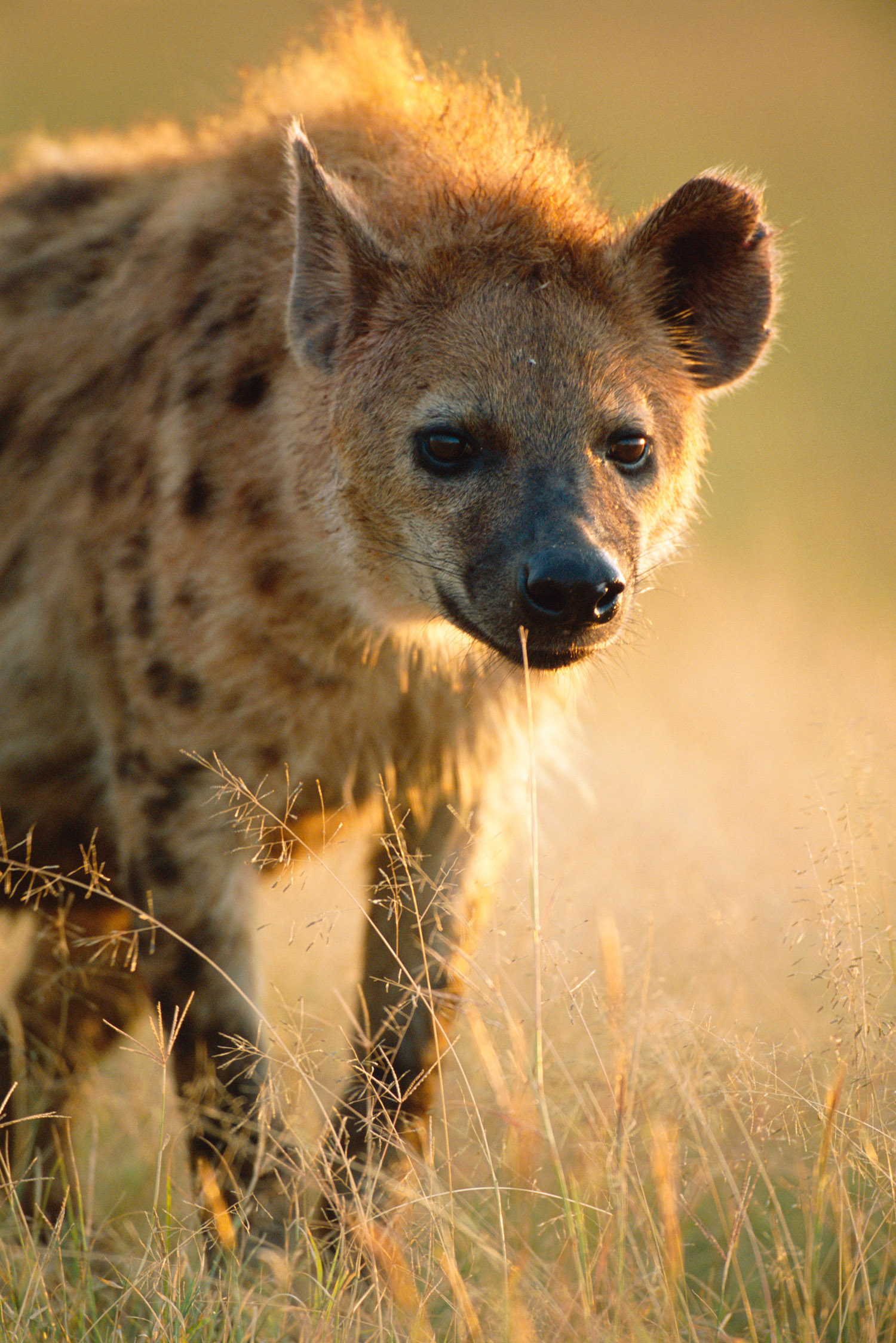 Spotted hyaena approaching, Masai Mara National Reserve, Kenya