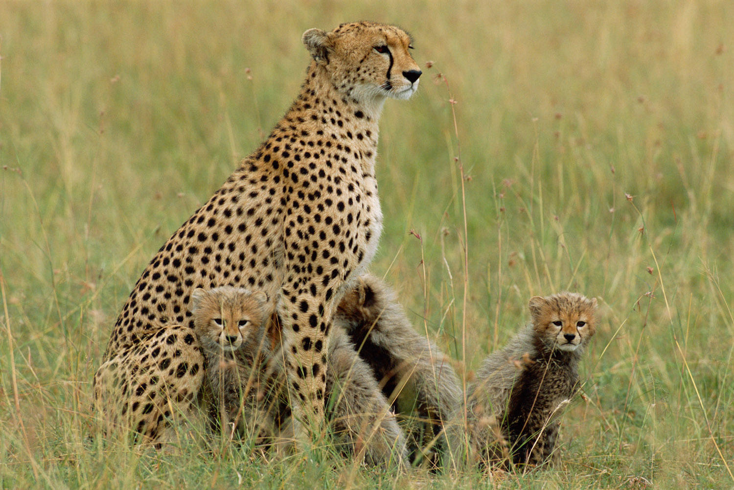 Cheetah mother with cubs, Masai Mara National Reserve, Kenya