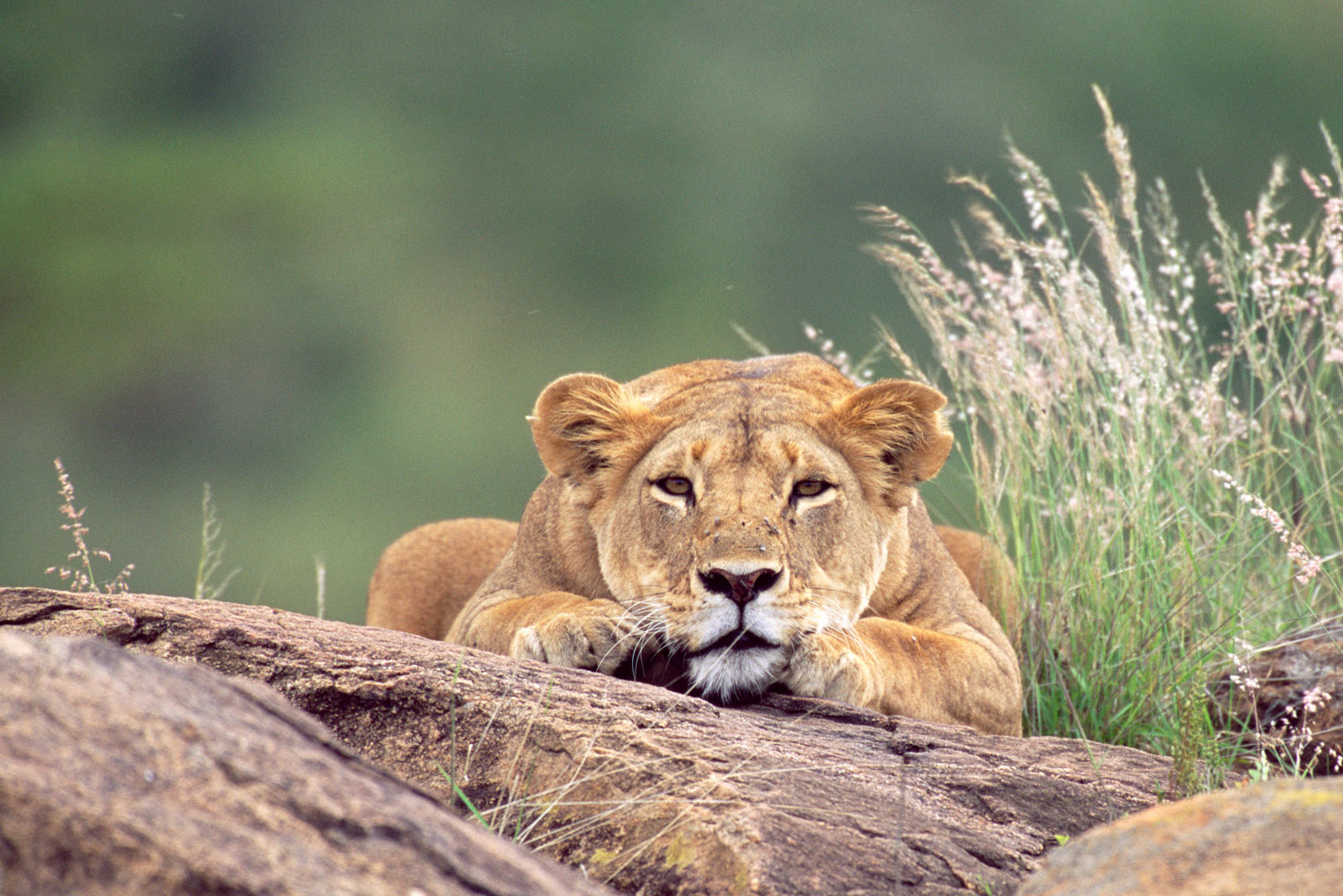 Lioness resting on rocks, Laikipia, Kenya