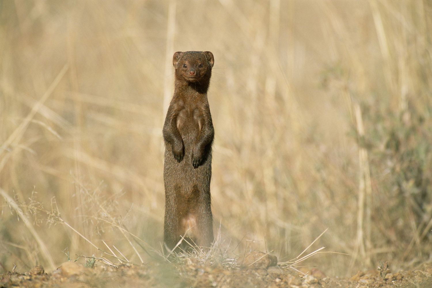 Dwarf mongoose on alert, Laikipia, Kenya