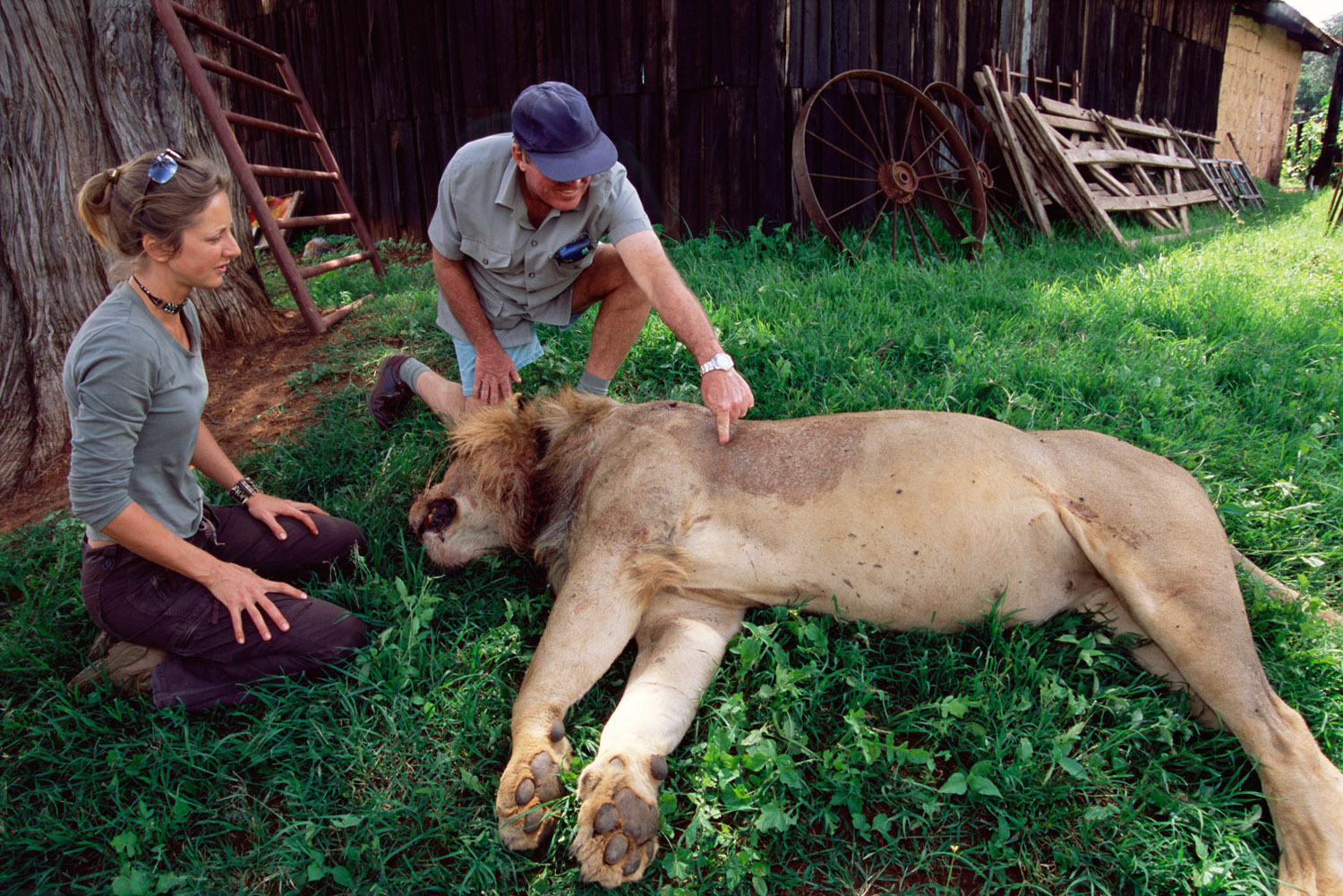 Researcher and rancher with lion shot legally for repeatedly killing domestic cattle, Laikipia, Kenya
