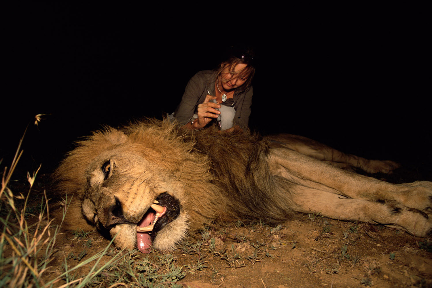 Researcher injecting tranquilised lion with antibiotics at night, Laikipia, Kenya