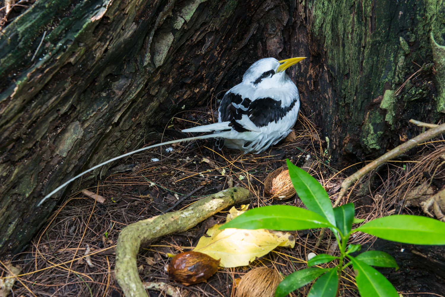 White-tailed tropicbird nesting at base of pisonia tree, Cousin Island Special Reserve, Seychelles