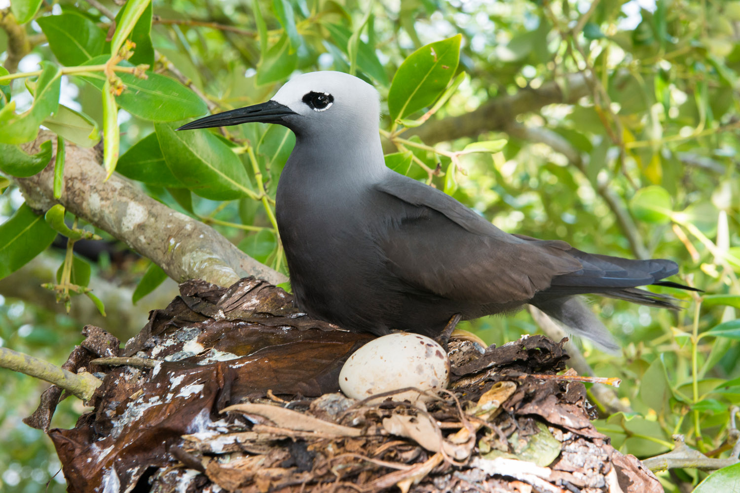 Lesser noddy on nest with egg in grey mangrove tree, Cousin Island Special Reserve, Seychelles