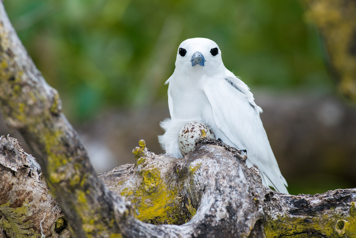 Fairy tern on nest with egg in grey mangrove tree, Cousin Island Special Reserve, Seychelles