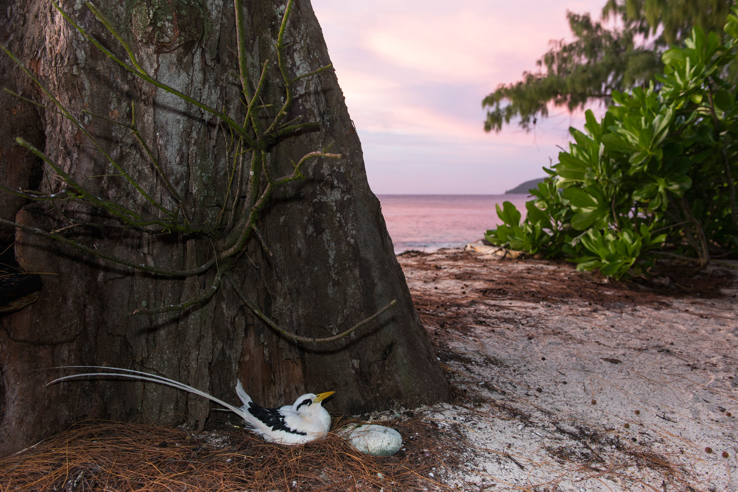 White-tailed tropicbird nesting at base of casuarina tree at twilight, Cousin Island Special Reserve, Seychelles